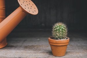 Watering a cactus - one of the steps when preparing your plants for the move.