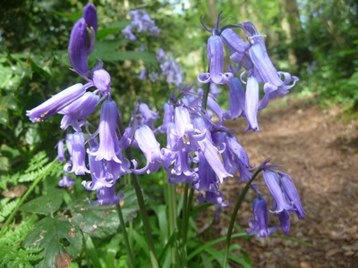 Bluebells by Path