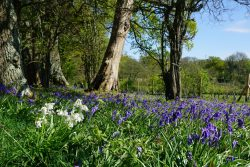 Bluebells near Fenn Place Mill