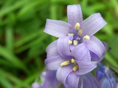 Spanish bluebell flower
