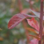 紅葉中のブルーベリー
