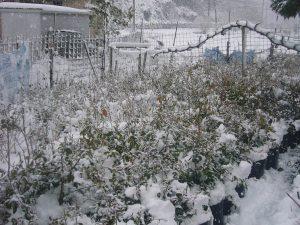 雪を払った苗木