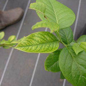 ブライトウエルの育成不良の葉