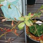 根を食害された苗木
