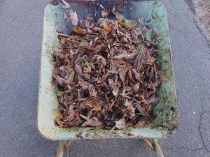 掃除した落葉