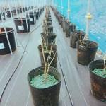 70本の苗木を育成中です