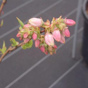 ブルーベリーハンナズチョイスの花