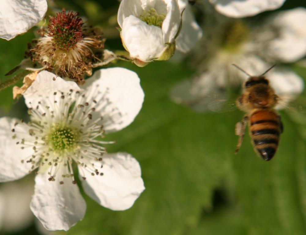 Carniolan and Italian honeybees (1/3)
