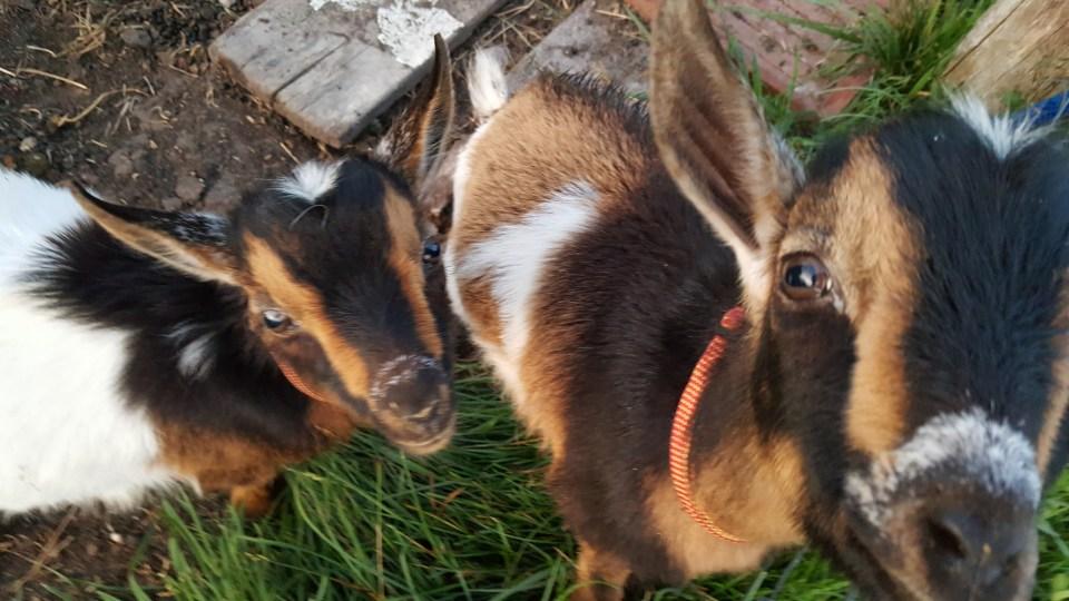Goat Yoga near Grand Rapids at Bluebird Meadow Goat Yoga