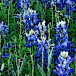 cropped-bluebonnets-poster-3.jpg