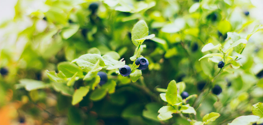 blueberries growing in the wild