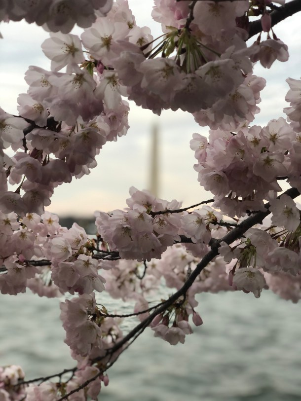 Firsts, Lasts, and the In-Between Times in a Pandemic - Washington D.C. Cherry Blossoms | Where the BlueBoots Go | bluebootsgo.com