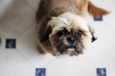 Why a Shih-Tzu Would Rub an Ear on the Floor
