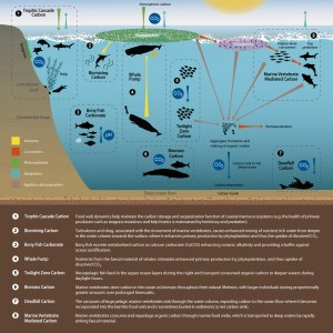 The eight Fish Carbon mechanisms: carbon pathways, pumps and cascades.
