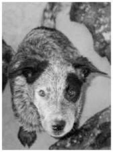 Billie - The Bluedog