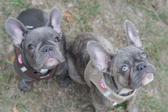 french bulldogs vom nürnberger land – welcome frenchie lovers