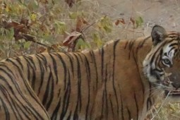 Layla Tiger Ranthambore National Park