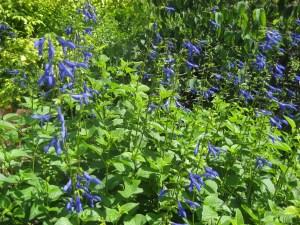 Black and Blue Salvia photo