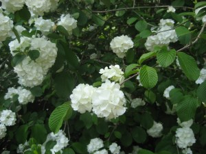 viburnum photo