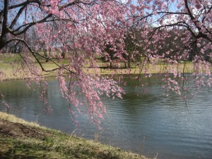 Weeping Cherry photo