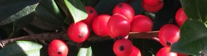 Photo of holly berries
