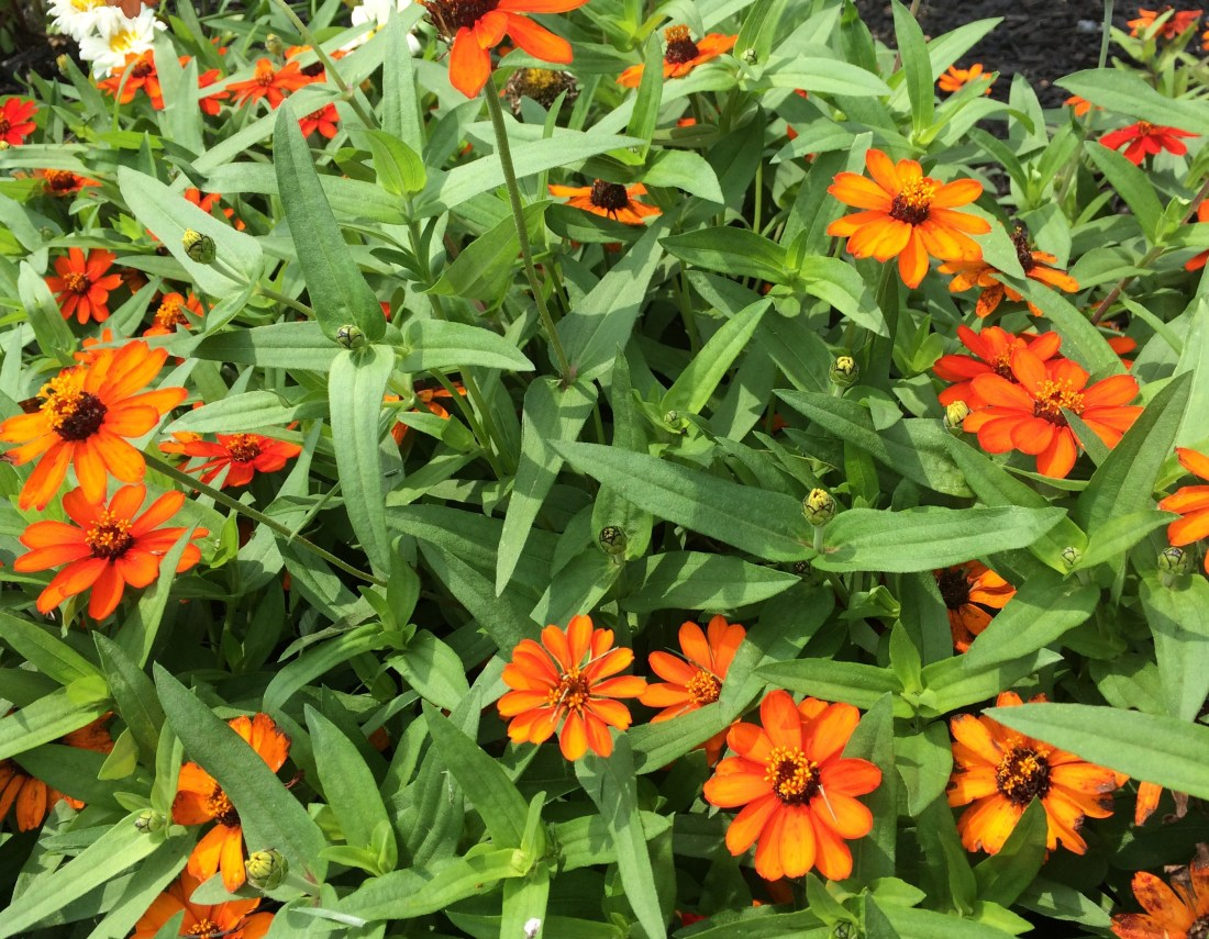 Photo of orange zinnias
