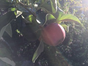 Photo of Apple Tree