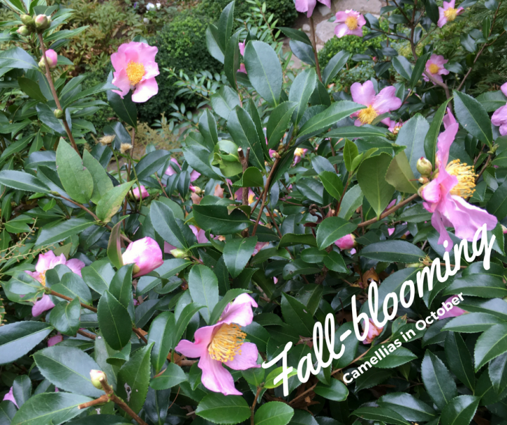 fall-blooming-camellias