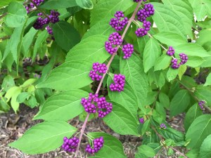 Photo of beauty berry