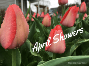 Photo of pink tulips in the rain