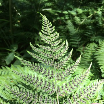 Photo of fern frond