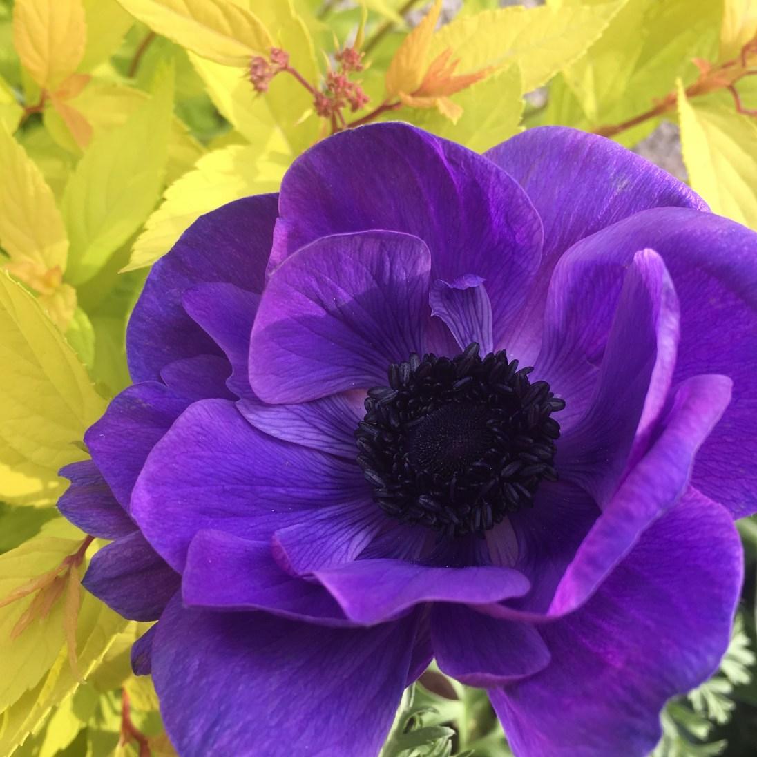 Photo of Blue Poppy
