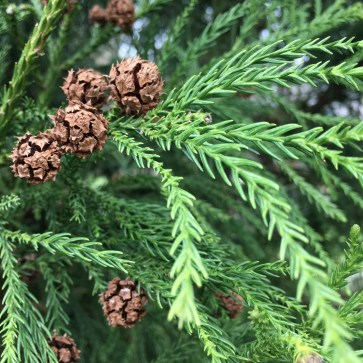 Photo of Cryptomeria Cones