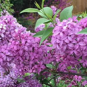 Photo of Lilac
