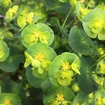 Photo of Euphorbia robbiae