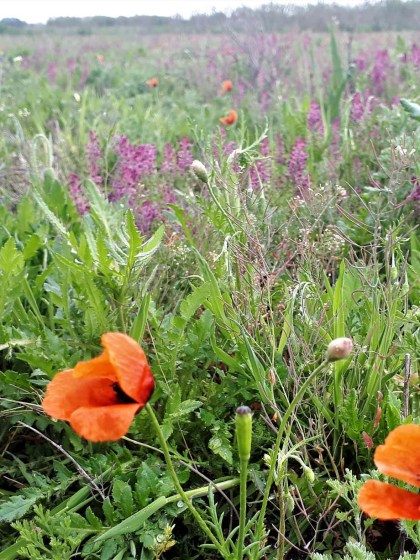 Ackerwildkrautflora