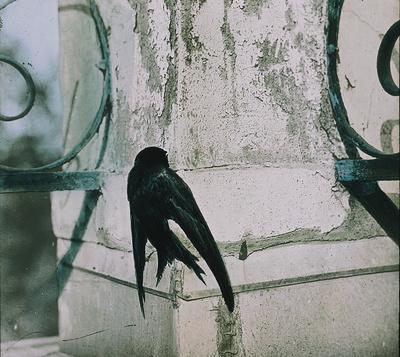 Mauersegler, an einer Säule sich anklammernd [Paul, Carl (Fotograf) Deutsche Fotothek]