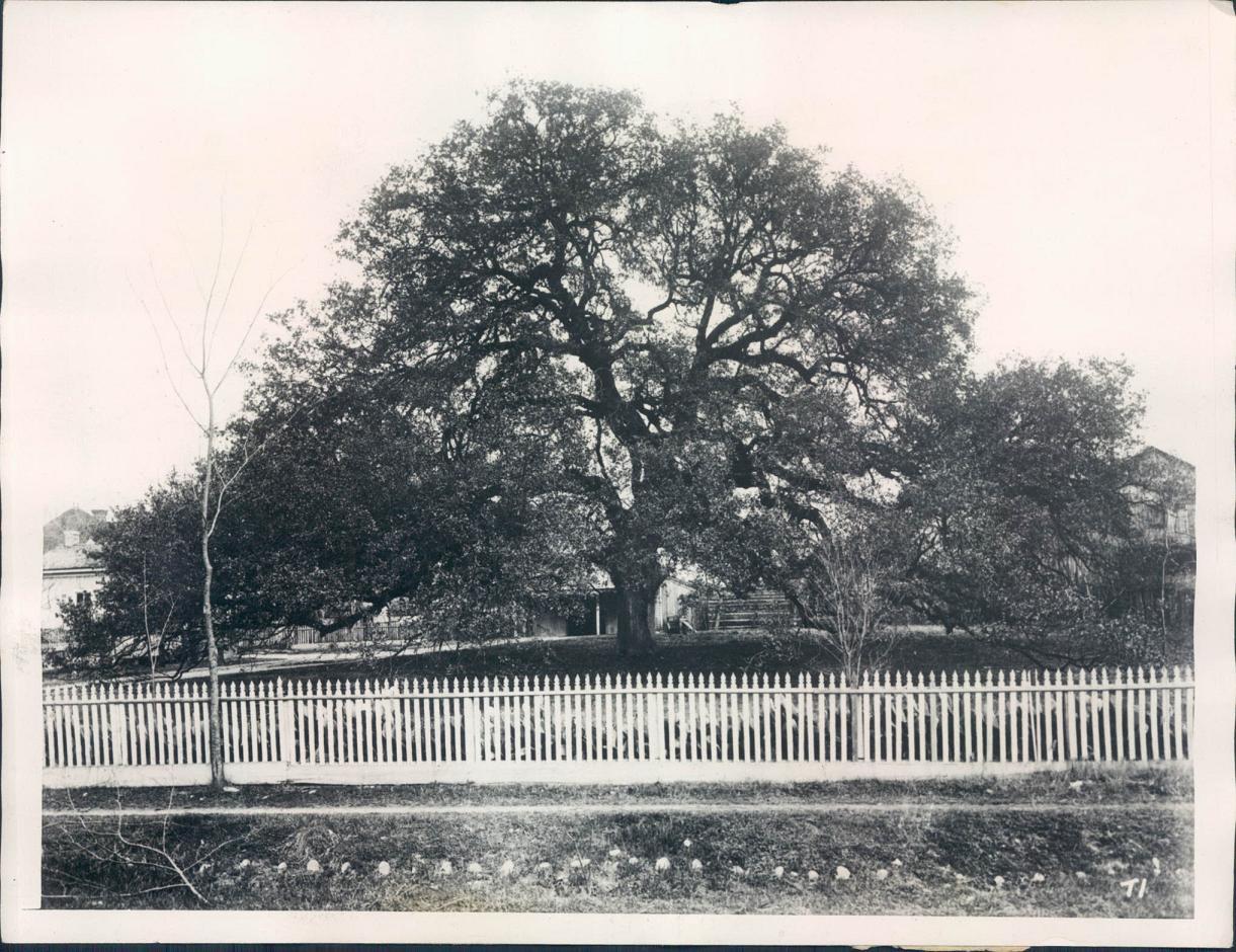 TreatyOak1928.JPG