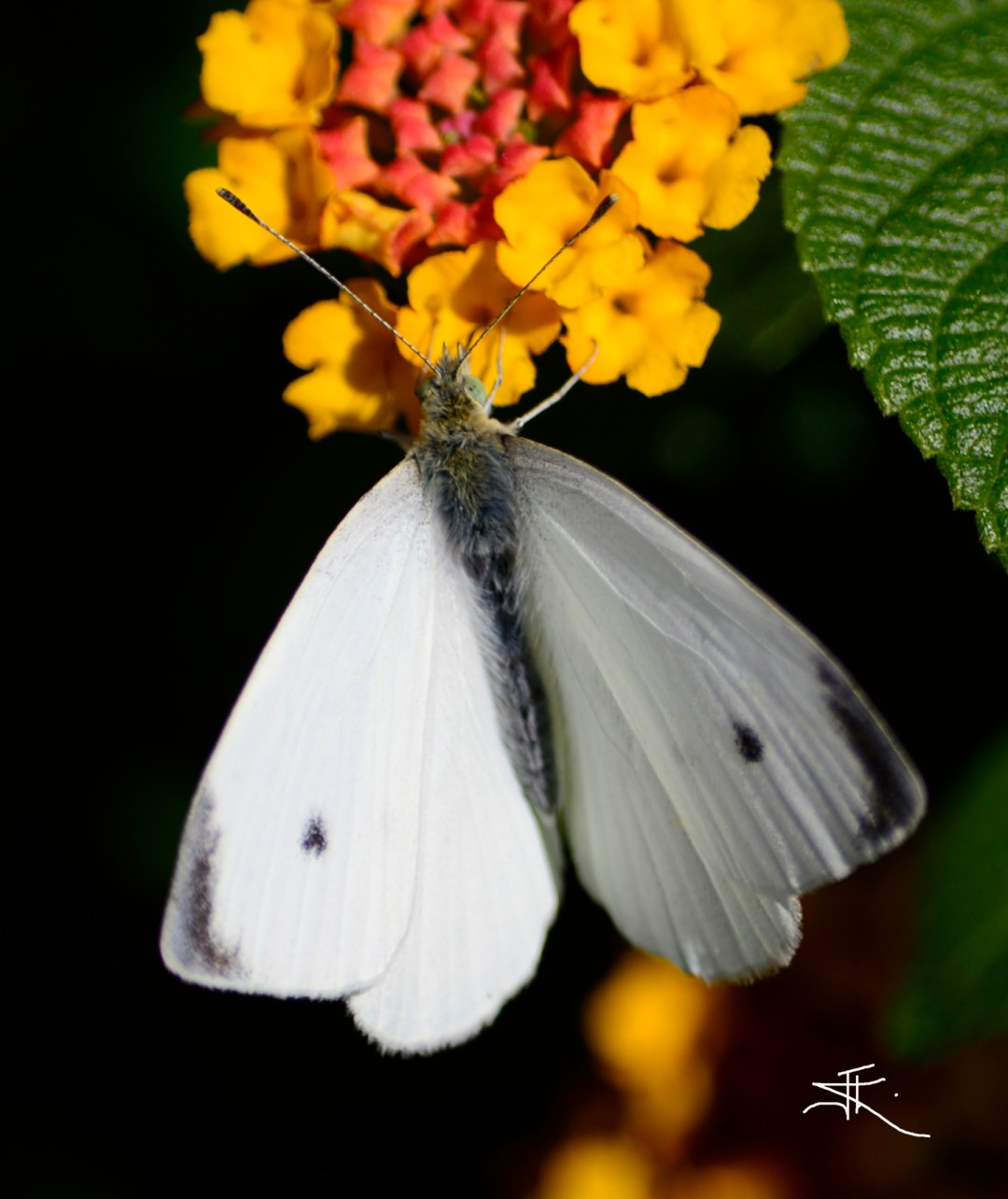 White Butterfly si