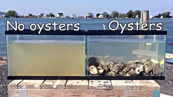 oysters cleaning water
