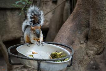 Veverička, ki v ZOO v Mexico City je brokoli