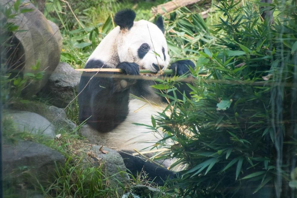 Giant Panda in CDMX zoo