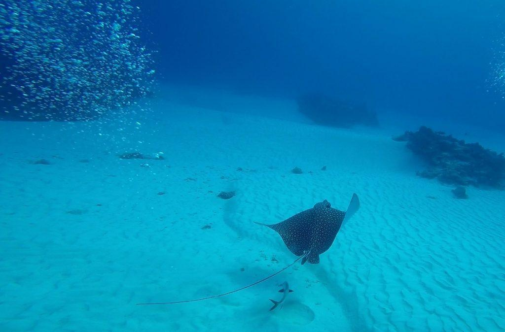 Eagle Ray floating in the water (Our scuba diving in Cozumel)