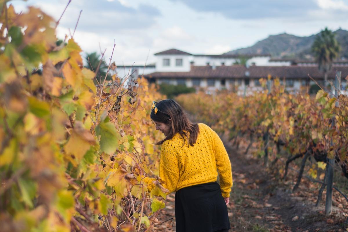 Na degustacijo vina v Čilu - med rumenimi vinogradi