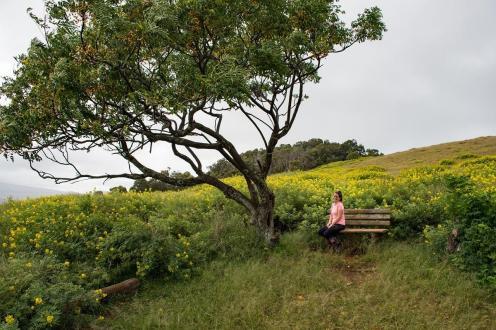 Polje rumenih rož in točka za počitek na poti do vulkana Ranu Kao na Velikonočnem otoku