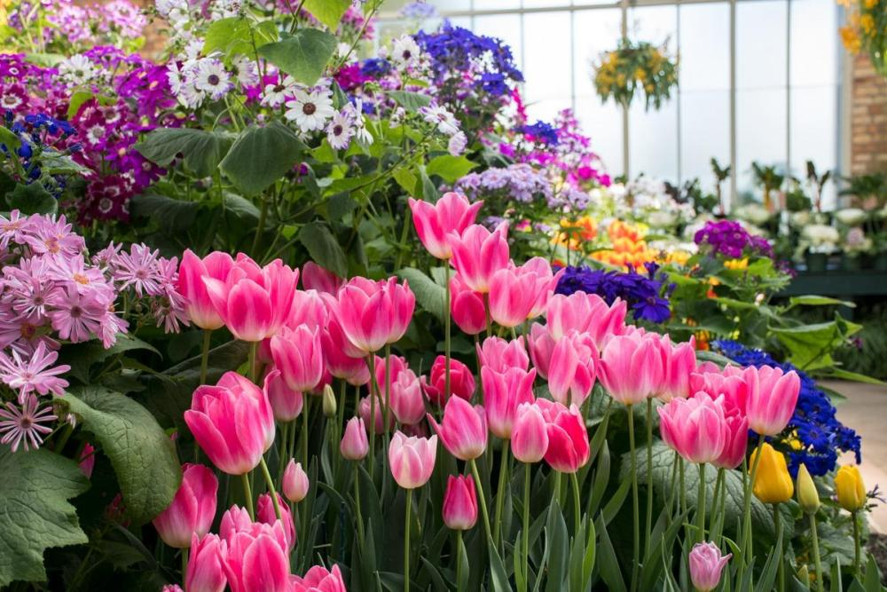 Wintergardens in Auckland Domain - pink tulips and other flowers