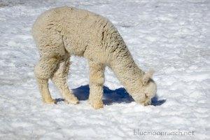 snowgrazingmarcella