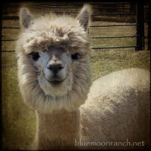 alpacacompanion
