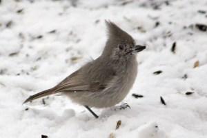 lil-gray-bird