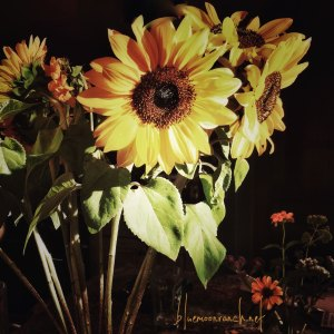 aug.sunflowers